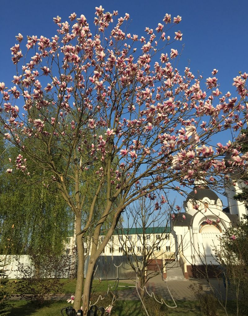 Сейчас дерево растет у храма храма святых Жен-Мироносиц. Фото: Екатерина БУБЕН