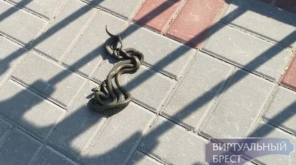На Набережной в Бресте начали выползать змеи (фотофакт)