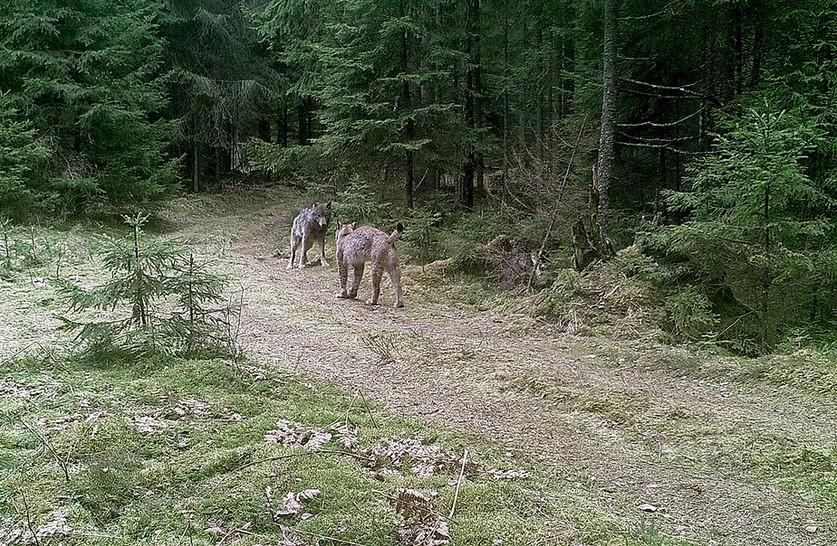 В Налибокской пуще в битве сошлись самец рыси и взрослый волк (фотофакт)