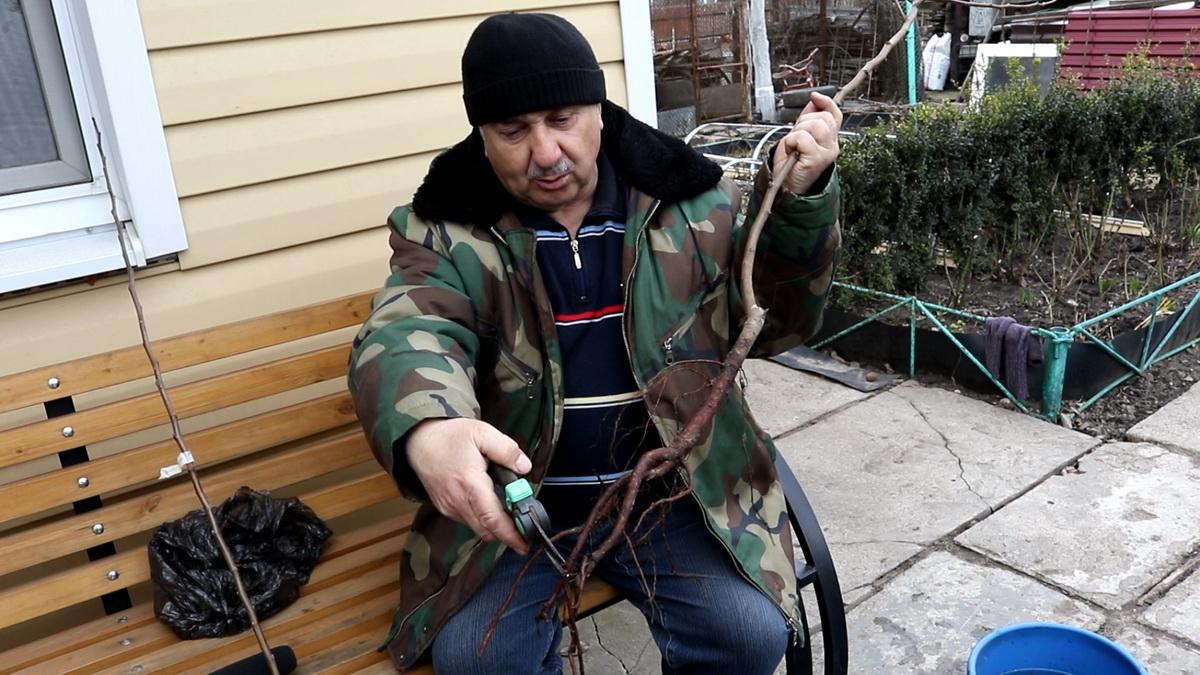 Перед посадкой у саженца нужно обрезать поврежденные корни. Фото: Александр ЧЕРНЫЙ
