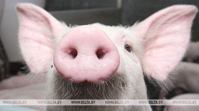 Более 30 свиней погибли на пожаре в Лидском районе