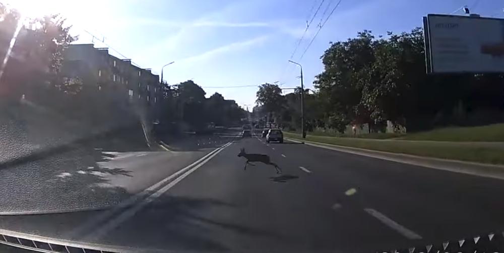В центре Гродно по дороге бегала косуля, которая чуть не спровоцировала ДТП. Видеофакт
