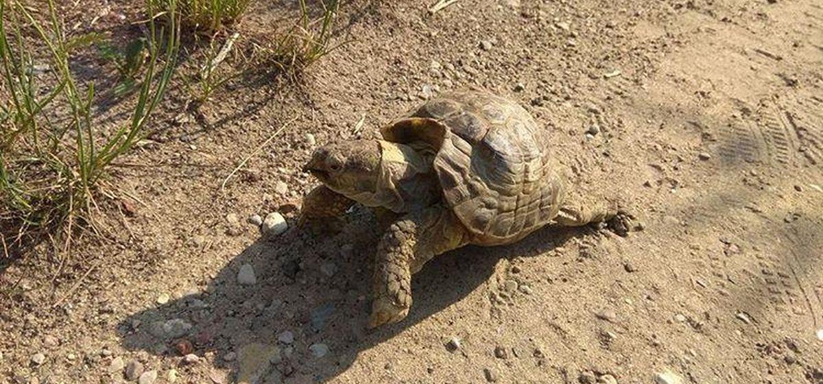 В Барановичах поймали черепаху, которая три дня была в бегах