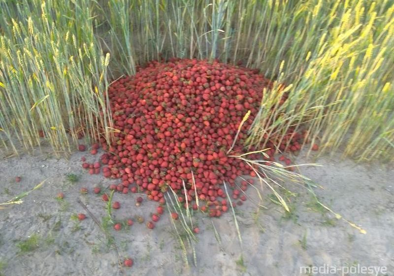В Лунинце продавцы клубники выбрасывают ягоду, которую не могут продать даже по 20 копеек