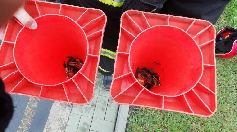 Как работники МЧС в Минске утят спасали. Фото