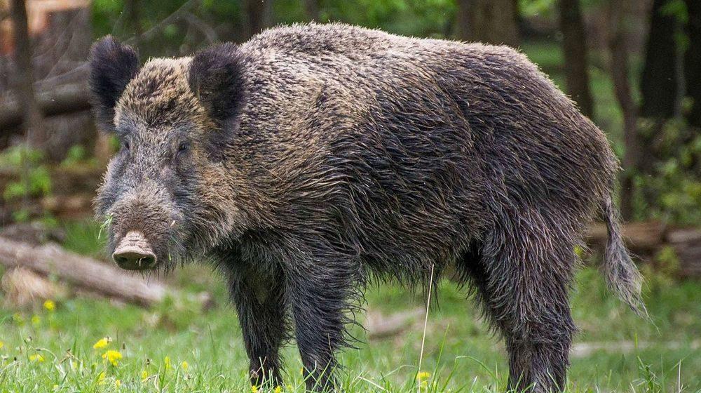 Для профилактики АЧС охотникам будут платить больше за диких кабанов