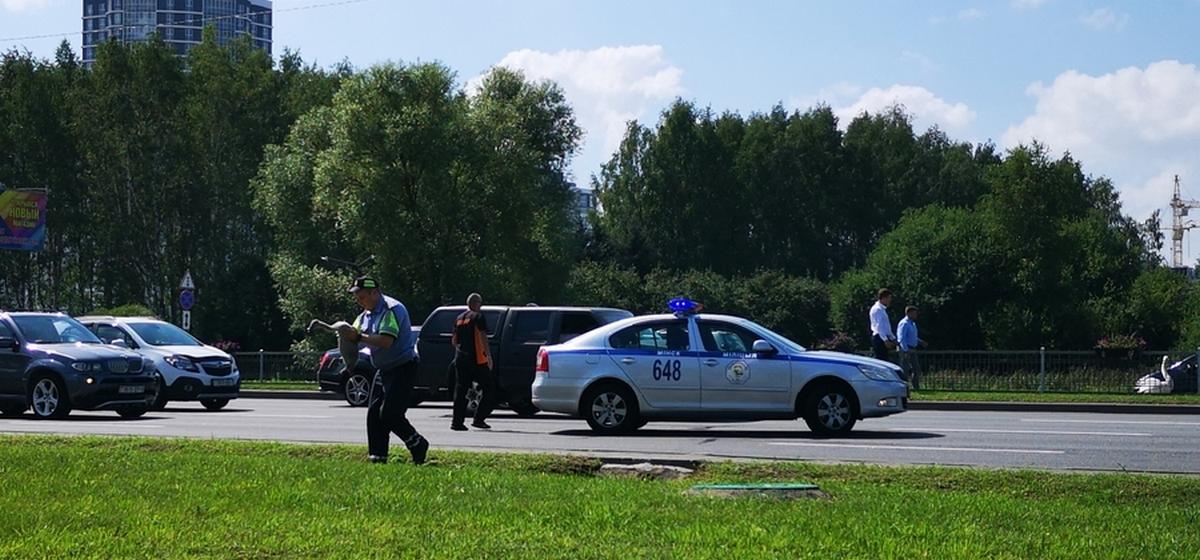 Сотрудники ГАИ перекрыли проспект Победителей в Минске, чтобы пропустить лебедя с птенцами