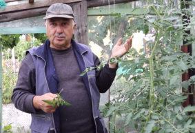 Как пасынковать помидоры и зачем это нужно делать. Видео