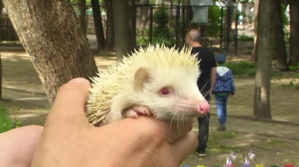 Люди принесли в витебский зоопарк ежат, а они оказались редчайшим видом. Видеофакт