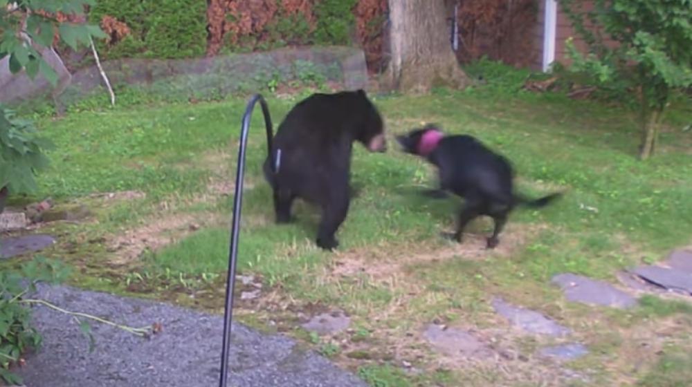 Медведь забрался во двор жилого дома в США, но его учуяла соседская собака и бросилась в атаку. Видеофакт