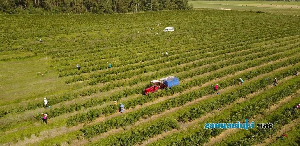 Как под Ганцевичами собирают голубику и сколько можно заработать на сборе ягоды