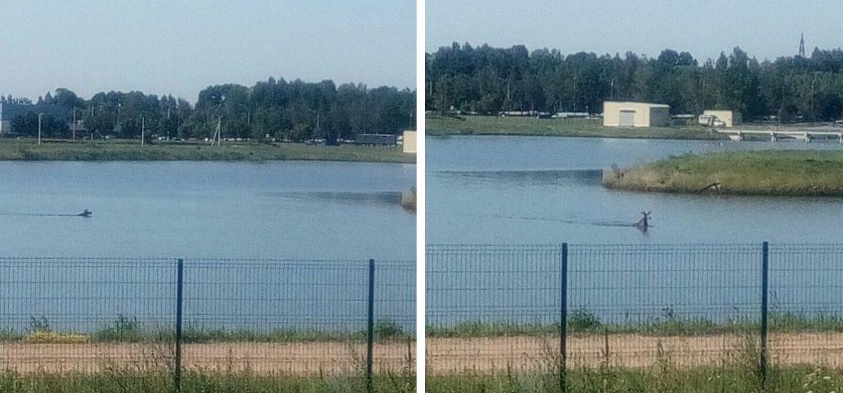 В техническом водоеме в Минске утром плавал лось. Фотофакт