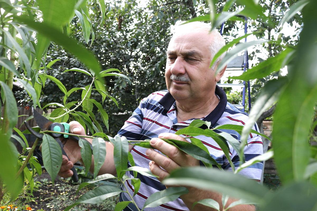 Петр Ломонос рекомендует удалять все ветки, которые загущают крону, а также поросль, которая ослабляет дерево. Фото: Александр ЧЕРНЫЙ