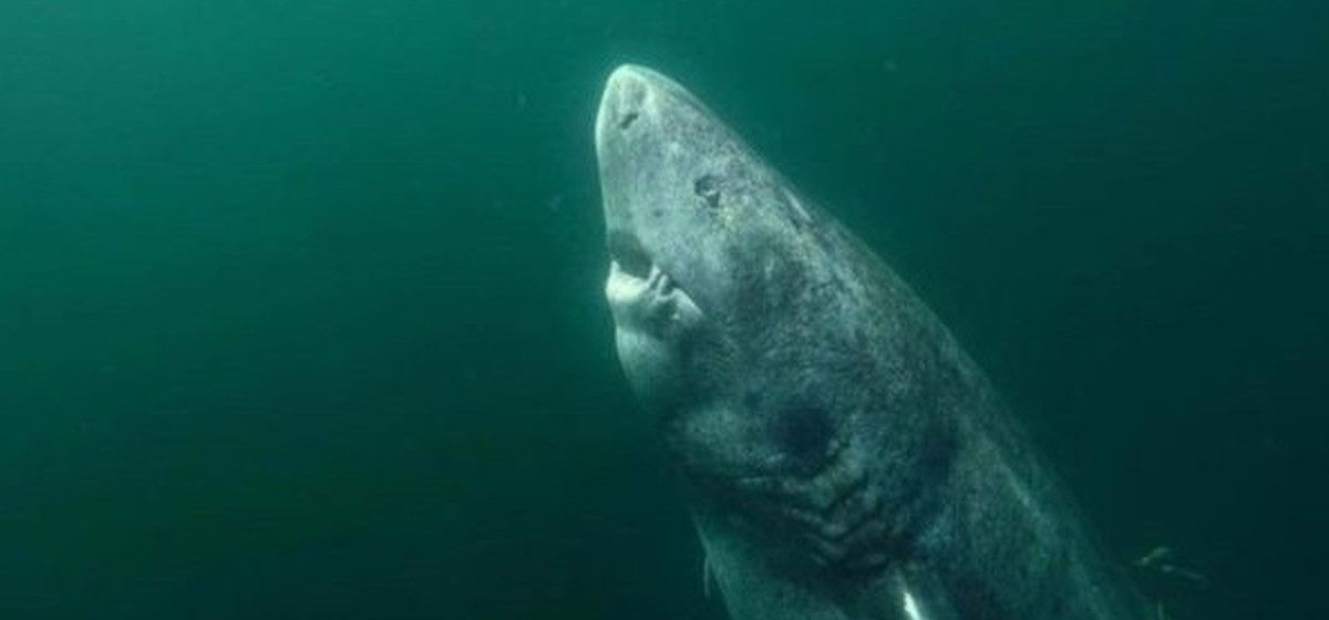 Ученые обнаружили в Гренландии акулу, которой более 500 лет