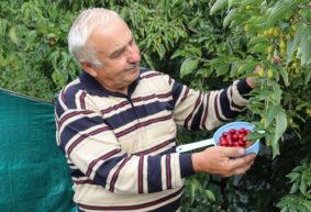 Кизил: чем полезен и как вырастить в своем саду. Видео