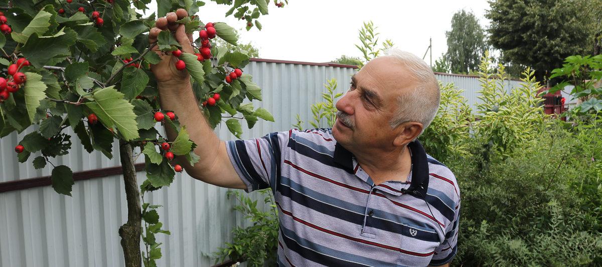 Боярышник:  полезное растение для вашего сада. Видео