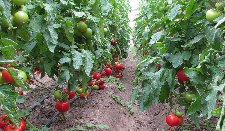 Как жители «помидорного края» в Барановичском районе не могут реализовать свои томаты. «Скупают наши помидоры за бесценок»