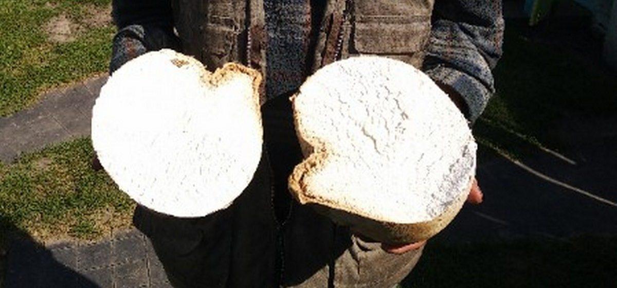 Двухкилограммовый гриб-дождевик нашел житель Речицкого района. Фотофакт