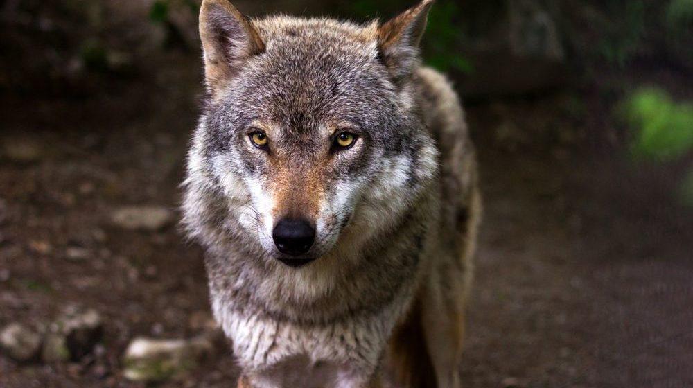 Волки ночью нападают на деревни в Слонимском районе и убивают собак