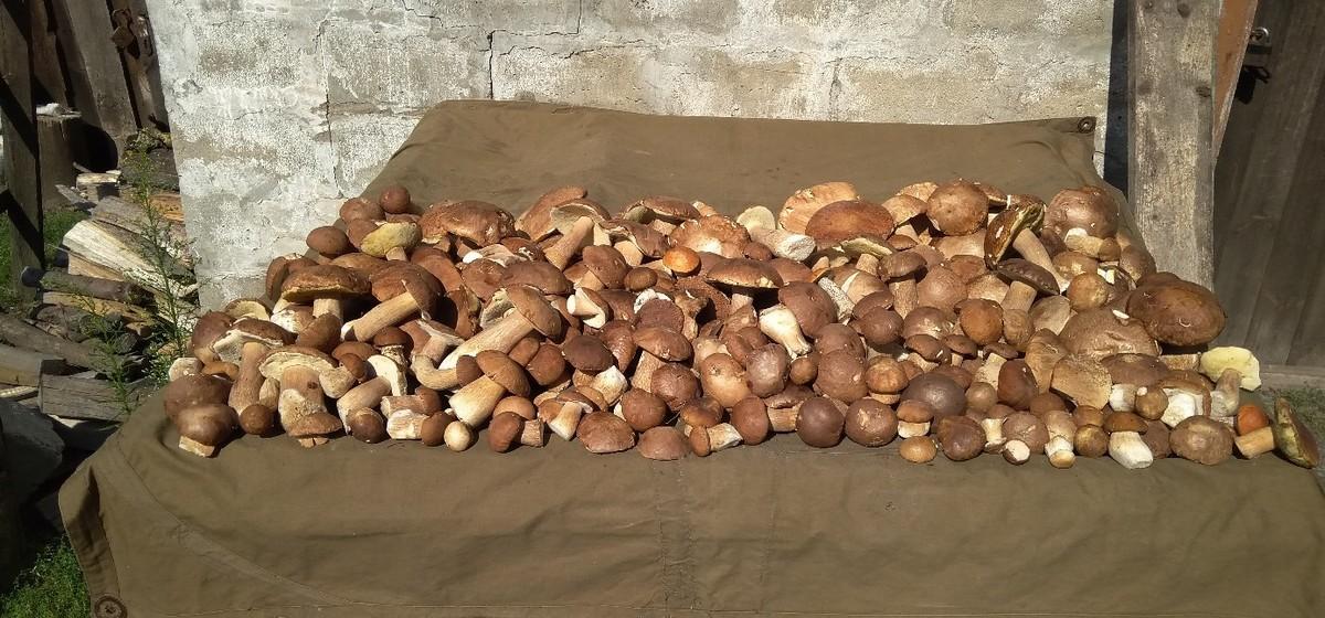 Семья из Слонима собрала 418 боровиков за два дня. Фотофакт