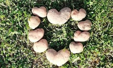 Под Полоцком семья вырастила урожай картошки в форме сердечек. Фотофакт