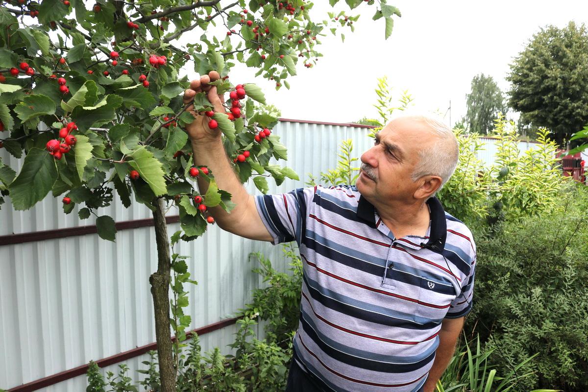 По словам Петра Ломоноса, урожайность боярышника невысокая, но плоды его чрезвычайно полезны для здоровья. Фото: Александр ЧЕРНЫЙ