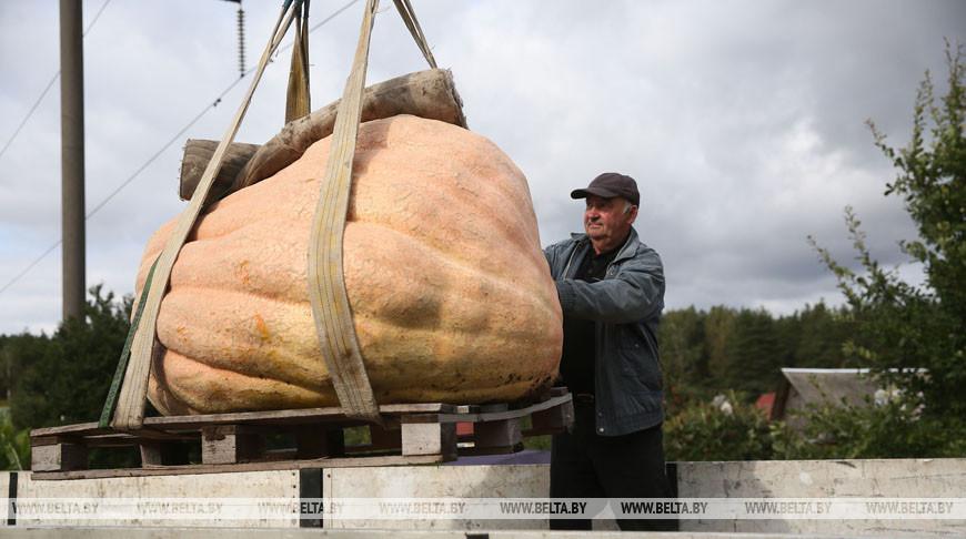 Тыкву весом 450 кг вырастил мужчина из Гродно. Фотофакт