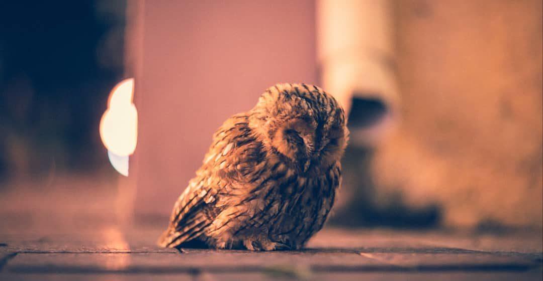 Ночью по центру Гродно гуляла маленькая и очень симпатичная сова. Фотофакт