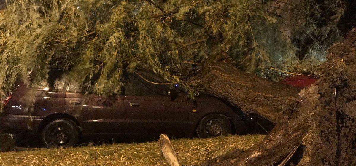 Сильный ветер ломал деревья в Бресте. Несколько упало на автомобили. Фотофакт