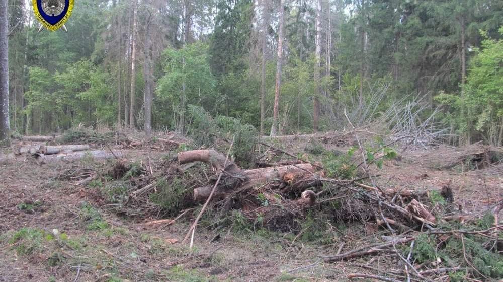 Сильный ветер в Могилевской области валил деревья — один мужчина погиб, другой в реанимации