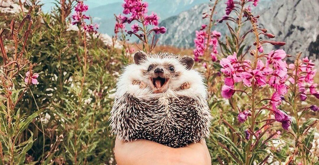 «Самый счастливый ежик в мире» стал звездой Instagram. Фото