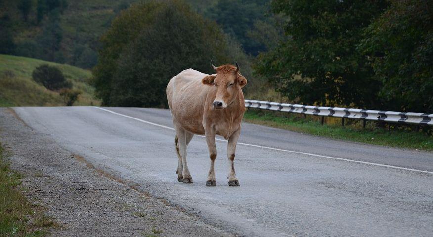 На трассе М6 фура врезалась в стадо коров. Видео