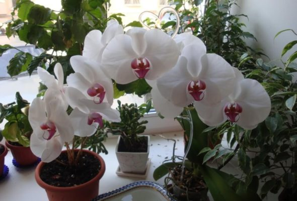 Как ухаживать за орхидеей в домашних условиях
