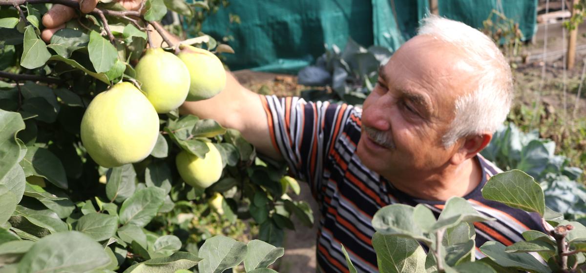 Что за фрукт – айва и чем это растение привлекательно для садоводов? Видео