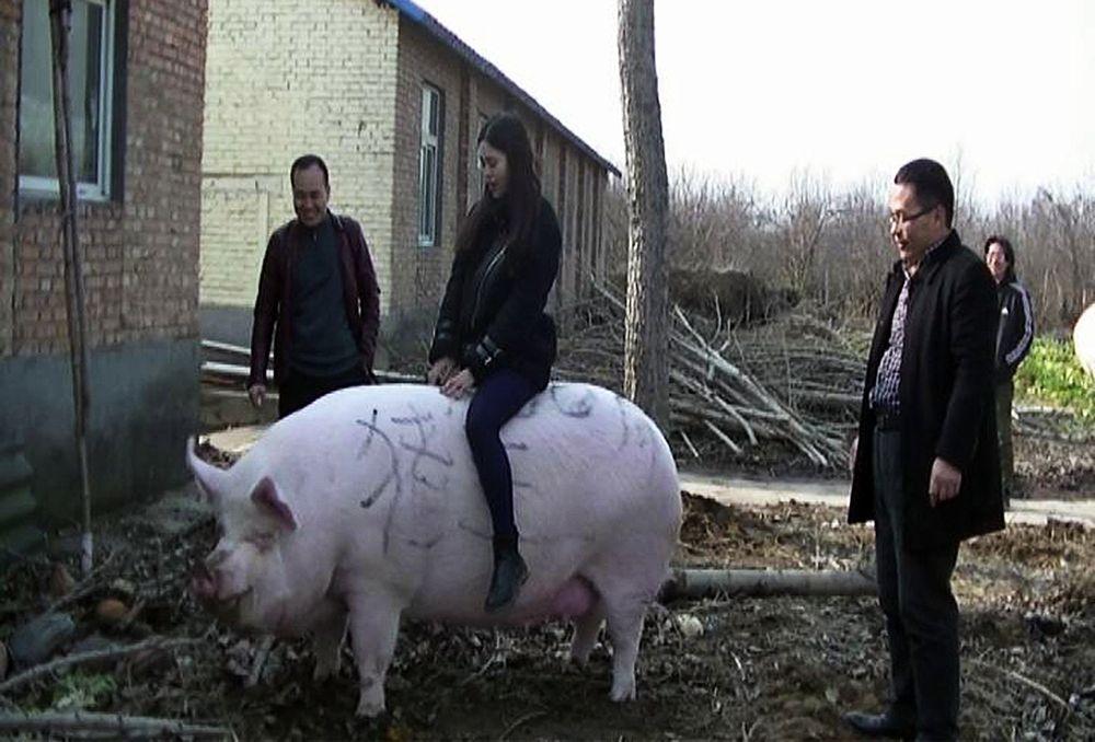 Посетительница катается на свинье весом 750 кг на ферме в городе Чжэнчжоу провинции Хэнань. Фото: Imaginechina