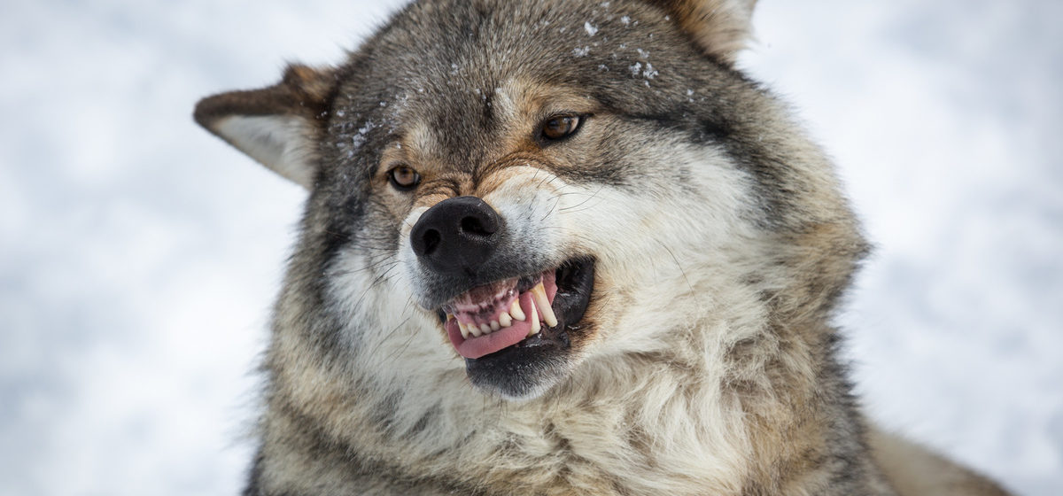Волк напал и покусал людей в Пинском районе