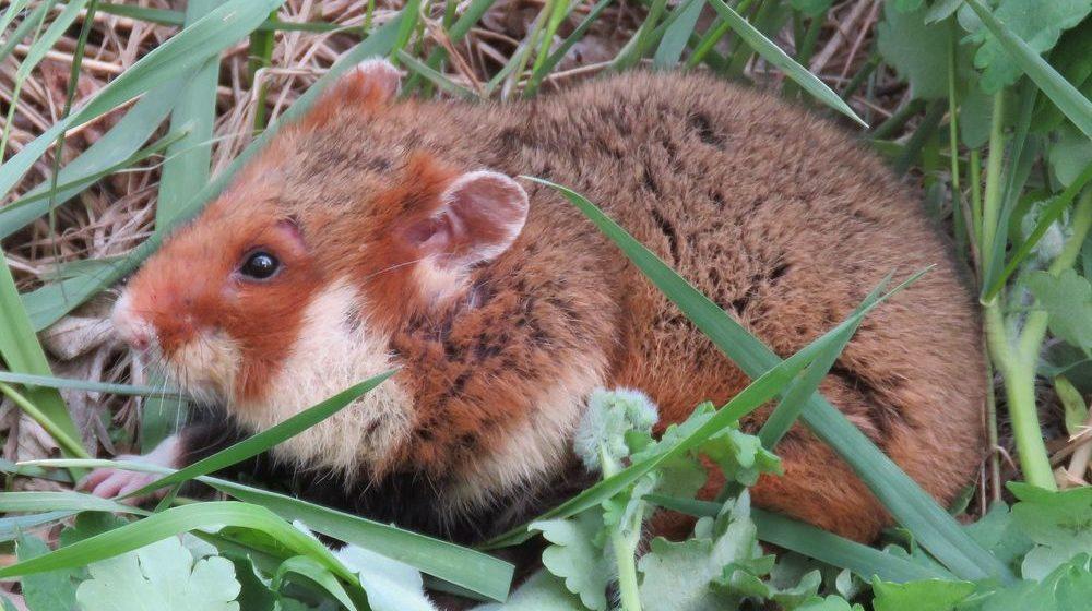 Увидел дикого хомяка — сообщи! В Беларуси проходит перепись хомяков