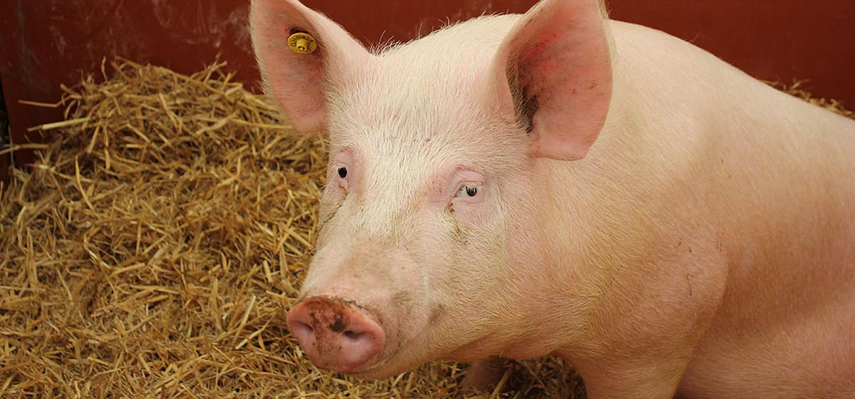 Барановичский райисполком запретил держать свиней в двух деревнях