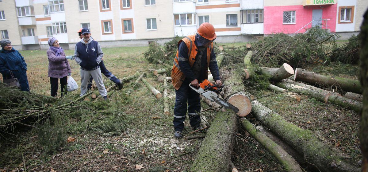 «Было лень гнезда снимать, так они деревья в ход пустили?». Почему спиливают ели на улице Промышленной в Барановичах