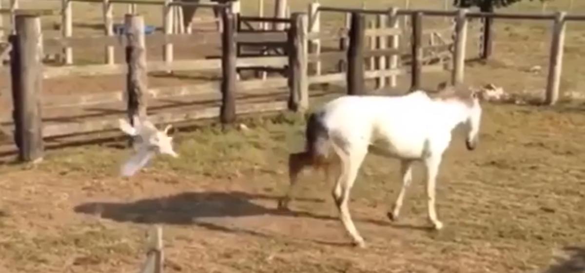 Петух против лошади — на видео попала необычная схватка домашних животных