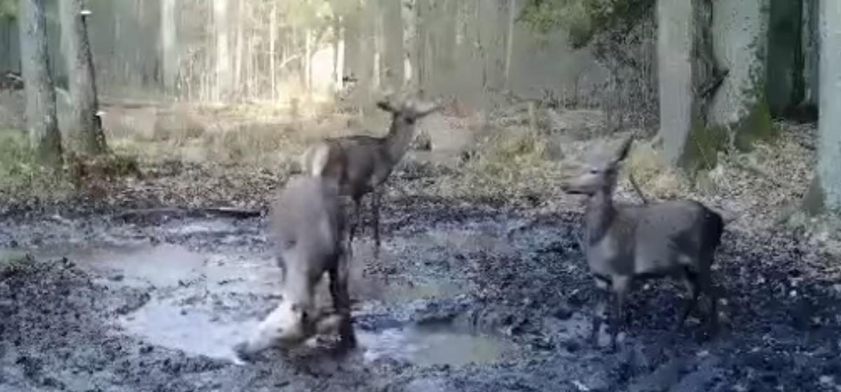 Смотрите, как в Беловежской пуще олени принимают грязевые ванны