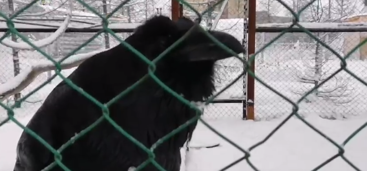 Его голос не отличить от человеческого — говорящего ворона сняли на видео в России