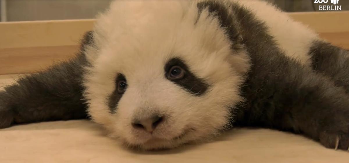 Малыш панда из Берлина умилил своей икотой весь интернет. Видео