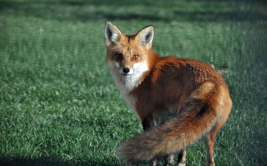 На Гомельщине сельчанка едва успела убежать в дом от бешеной лисы. Животное застрелили