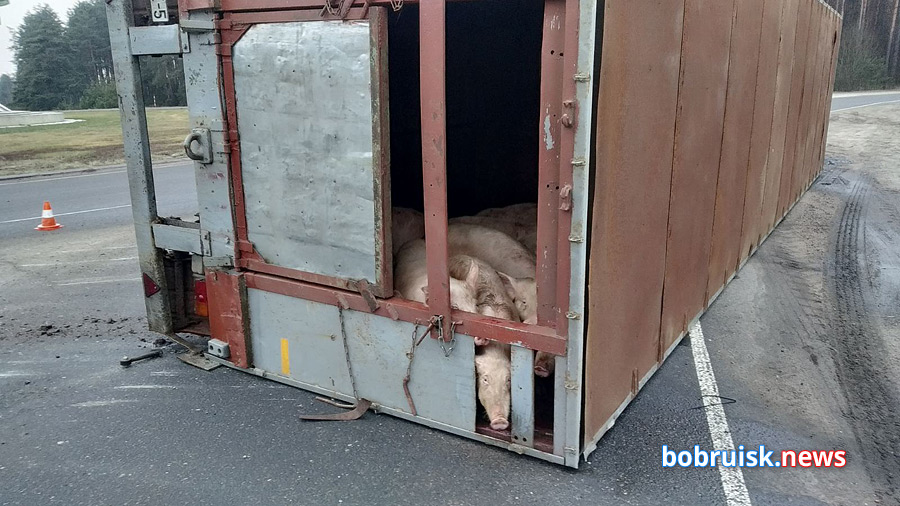 Грузовик со свиньями опрокинулся в Бобруйске по дороге на мясокомбинат. Видео
