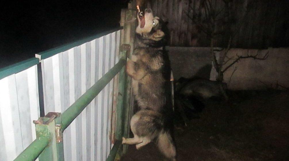 Бешеная собака, на которую не действовало снотворное, напала на пенсионера в Копыльском районе. Ее застрелили