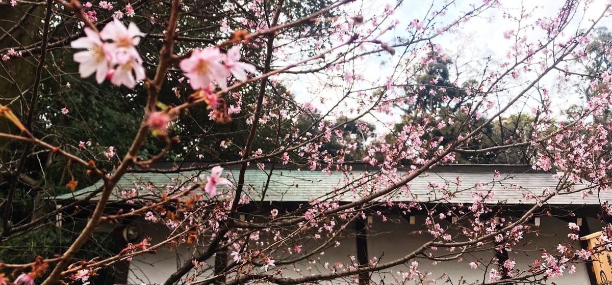 Ранняя сакура в Осаке, Япония. Фото: личный архив Алины СЕВЕЦ