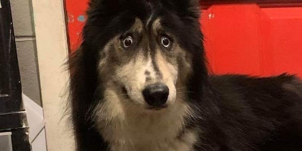 Хаски сдали в приют из-за вечно удивленного взгляда. Он же помог собаке найти любящую семью