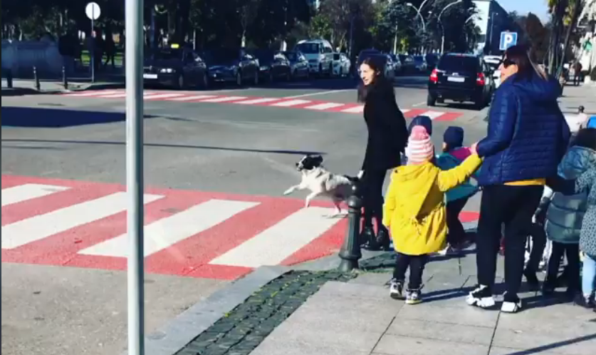 Бездомная собака из Грузии знает правила дорожного движения лучше многих. Она помогает детям переходить дорогу