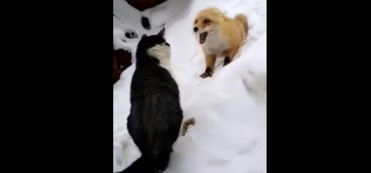 Эпичная «битва» кота и лисы за колбасу попала на видео